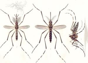 Pelko ja epäluulo geenimuuntelua kohtaan jakaa floridalaisten mielipiteet kokeesta, jossa geenimuunneltuja Aedes aegypti -moskiittoja levitettäisiin luontoon. Kuva: Google Commons.