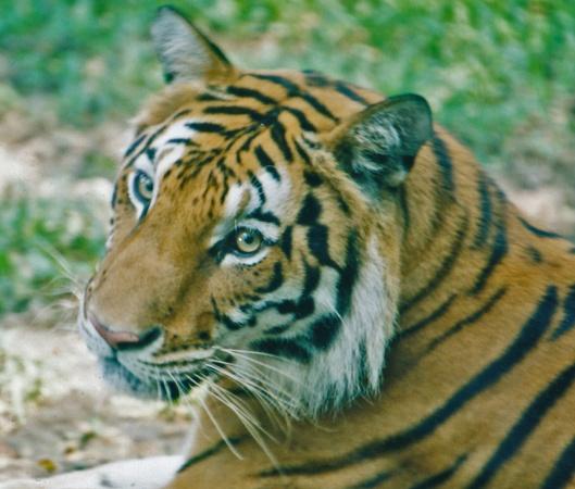 Tiikerien luonnonvaraisen kannan kasvu etenkin Intiassa jää valitettavasti yhä kiihtyvän laittoman tiikerien tappamisen ja salakaupan varjoon. Bengalintiikeri. Kuva: Kai Aulio.