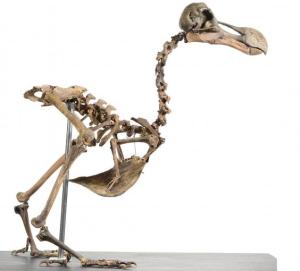 Englannissa huutokaupattu dodon luuranko on ainutlaatuinen, yksityiskeräilijän 40 vuoden aikana hankkimista erillisistä luisto koottu yksilö. Dodon luurankoja ei ole ollut kaupan lähes sataan vuoteen. Kuva: Summers Place Auctions.