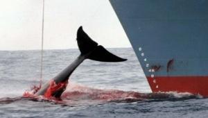 Japanin valaanpyynti jatkuu, kansainvälisestä kiellosta ja sopimuksesta huolimatta. Kuva: AFP.