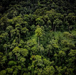 Maailmanennätyspuu erottuu hyvin ilmakuvassa, vaikka ympäröivätkin yksilöt ovat yli 90-metrisiä. Kuva: Greg Asner, Carnegie Institution for Science.