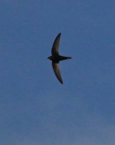 Aikuinen tervapääsky pysyy yhtäjaksoisesti lennossa kauemmin kuin mikään muu lintu. Kuva: Kai Aulio.