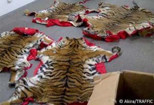 Viranomaisten takavarikoimien tiikerintaljojen alkuperän määritys on entistä vaikeampaa luvattomien petotarhojen yleistyttyä Kaakkois-Aasiassa. Mutta oli taljan eläin peräisin mistä tahansa, uhanalaisten eläinten ja eläinten osien kansainvälinen kauppa on laitonta. Kuva: Akira/TRAFFIC.