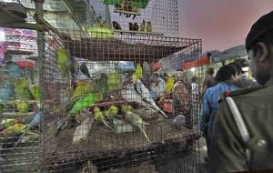 Lemmikkieläinkauppa on tätä nykyä Intiassa paitsi vilkasta myös määräyksistä vapaata. Lintukauppaa New Delhissä. Kuva: Raj K. Raj, Hindustantimes.com.