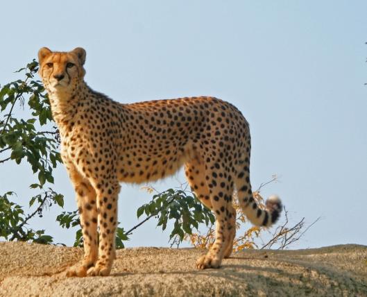 Gepardi vaatii elääkseen hyvin paljon tilaa, ja siksi ihmisen aiheuttamat maankäytön muutokset ja lajin luontaisten elinpiirien tuhoamiset ovat romahduttaneet kissapedon kannan. Kuva: Kai Aulio.
