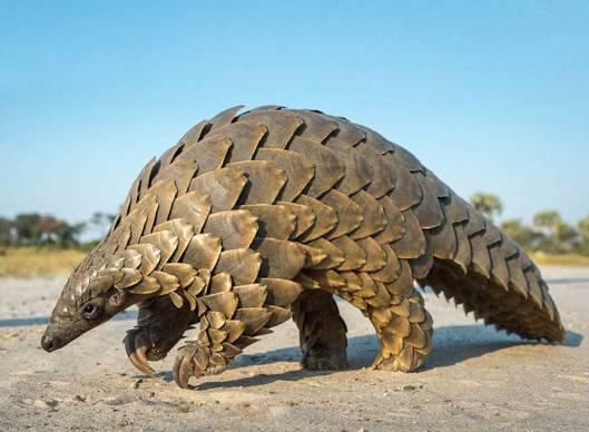 Muurahaiskävyt ‒ joita on kahdeksan lajia ‒ ovat kaikki uhanalaisia, ja lajiryhmää pidetään maailman eniten salakuljetettuna eläinlajina. Kuva: africa54.news.com.