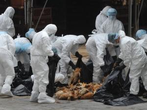 Marras-joulukuussa 2016 Etelä-Koreassa pakkoteurastettiin yli 12 miljoonaa tuotantotilojen lintua uuden tyypin lintuinfluenssan takia. Kuva: financialtribune.com.
