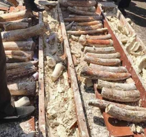 Järeän puutavaran sisään koverretusta tilasta löytynyttä norsunluuta Mombasan sataman takavarikossa. Kuva: Elkana Jacob, via The Star.