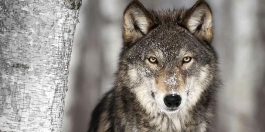 """Suuri osa Norjan susista voi """"hengähtää hieman vapaammin"""" maan halliuksen pyörrettyä päätöksen susien joukkoteurastuksesta. Kuva: assets.rbl.ms, via ecowatch.com."""