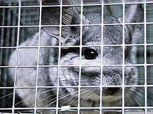 Chinchilla on luonnossa erittäin uhanalainen, ja monissa maissa lajin tarhauskin on tätä nykyä kiellettyä. Kuva: Prijatelji-zivotinja.hr.