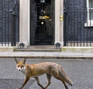 Kettu kuuluu myös Lontoon vakioasukkaisiin, joka voi vierailla jopa pääministerin virka-asunnon Downing Street numero 10 ovella. Kuva: Justin Tallis, AFP, Getty Images.
