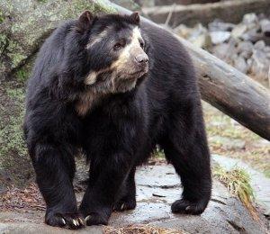 Silmälasikarhu eli andienkarhu on Etelä-Amerikan mantereen ainoa karhulaji. Kuva: Dinosaur-Archives.boards.net.
