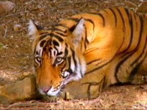 Tiikeri on Intian kansalliseläin, jonka hyvinvoinnista huolehtivia eläinlääkäreitä on liian vähän. Kuva: ndtv.com.