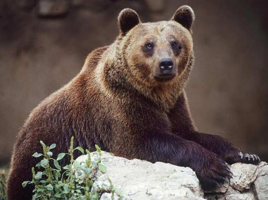 1990-luvun lopulla Italiaan palautettu karhu menestyy eteläisten Alppien maisemissa erinomaisesti, ja nallet näyttävät sopeutuvan myös ilmastonmuutoksen mukanaan tuomaan uudenlaiseen vuosirytmiin. Kuva: R. Iezzi, via italia.it.