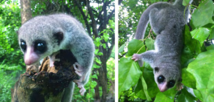Cheirogaleus shethi -kääpiömaki on uusin lisäys Madagaskarin kotoperäisten (endeemisten) eläinlajien listalla. Kuva: Richard Randriamampionona, via Primate Conservation.