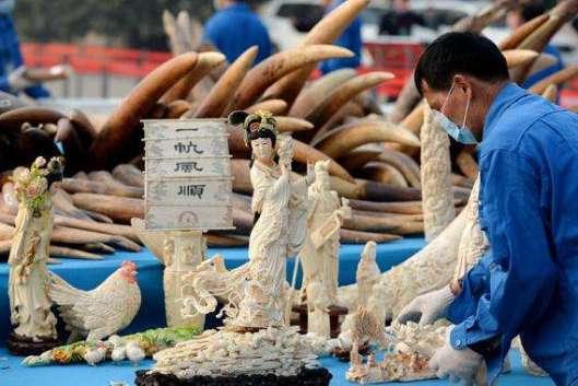 Norsunluun salakuljettajilta takavarikoidun norsunluun määrä oli vuonna 2016 jopa 80 prosenttia pienempi kuin vuotta aikaisemmin. Jättivaltio on luvannut lopettaa norsunluun tuonnin täydellisesti. Jo vuonna 2014 kiinalaiset tuhosivat yli 6 tonnia salakuljettajilta takavarikoitua norsunluuta. Kuva: Li Xin, Xinhua.