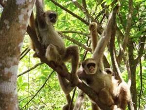 Keltakuume on karsinut rajusti uhanalaisen muriki-apinan kantaa Brasiliassa. Kuva: Carla B. Possamai, Universidade Federal de Espirito Santo, via mongabay.com.