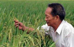 Tutkija Yuan Longpingin johdolla kehitetyt kiinalaiset riisilajikkeet ovat nostanet maailman tärkeimmän viljan satotasot ennätystasolle. Kuva: People's Daily Online.