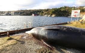 Vesieläimet pienimmästä suurimpaan kärsivät muoviroskien kertymisestä meriin. Norjassa rantautunut nokkavalas oli niellyt niin paljon muovikasseja, ettei normaali ravinnonhankinta enää onnistunut. Kuva: Bergenin yliopisto.