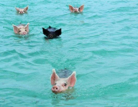 Uivat possut ovat olleet Bahamalle kuuluvien Exhuma-saarten vetonauloja jo 30 vuoden ajan. Kuva: Tripadviror.com.