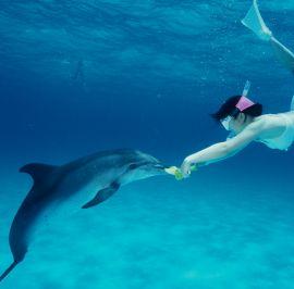 Delfiiniuintia tarjotaan turisteille kymmenissä kohteissa eri puolilla maailmaa, ja valitettavasti merinisäkkäiden elintapoja ja vaatimuksia tuntemattomat vieraat voivat vahingoittaa eläimiä vakavastikin. Kuva: dolphindreamteam.com.