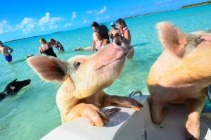 Yhteisuinti ja liian läheinen seurustelu turistien ja eläinten välillä voi koitua eläinosapuolelle kohtalokkaaksi. Kuva: Caribbeanandco.com.